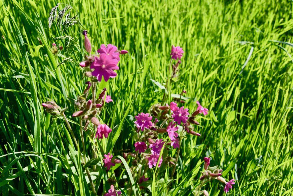 Fleurs des Champs en Haute-Loire